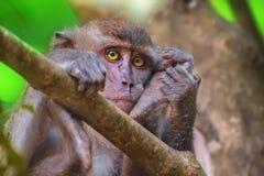 螃蟹吃短尾猿,长尾的短尾猿,猕猴属fascicularis 库存照片