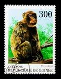 螃蟹吃短尾猿(猕猴属irus),猴子serie,大约1998年 免版税库存图片