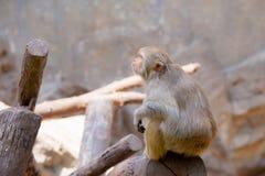 螃蟹吃siiting在木材的短尾猿猴子 库存图片