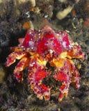螃蟹国王普吉特海湾 免版税库存图片