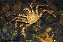 螃蟹国王lithodes穿着俗艳的美女挪威 免版税库存图片