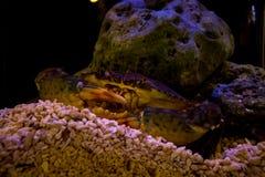 螃蟹在水中 图库摄影