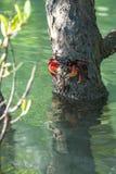 螃蟹坐在美洲红树沼泽的一个分支 免版税图库摄影