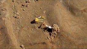螃蟹小狗争斗,在沙子 股票视频