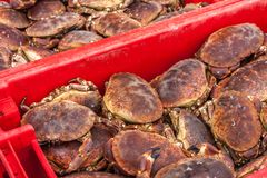 螃蟹抓住 奥克尼,苏格兰 免版税库存照片