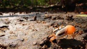螃蟹提琴手 库存图片