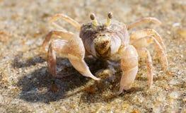 螃蟹提琴手 库存照片