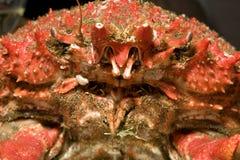 螃蟹极大的蜘蛛 免版税图库摄影