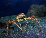 螃蟹海洋 免版税库存照片