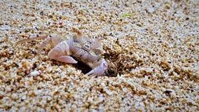 螃蟹特写镜头在它的房子前面的在毛里求斯海岛上 库存图片