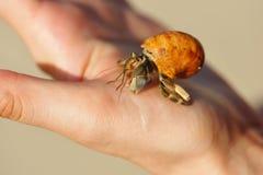 螃蟹现有量隐士 库存图片