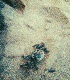螃蟹生活海运热带水中 免版税库存照片