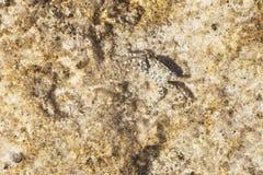 螃蟹由石头的纹理掩没 模仿 库存照片