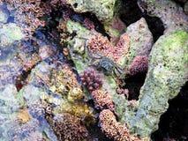螃蟹礁石 免版税图库摄影