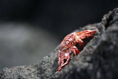 螃蟹红色 库存图片