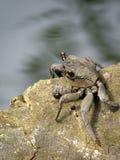 螃蟹美洲红树 库存照片