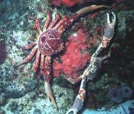 螃蟹舞蹈 图库摄影