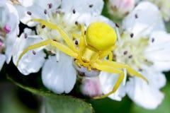 螃蟹菊科植物蜘蛛 免版税图库摄影