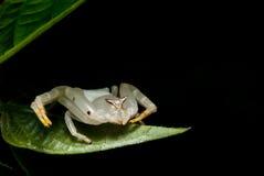 螃蟹蜘蛛宏观射击掩藏在叶子下 库存图片