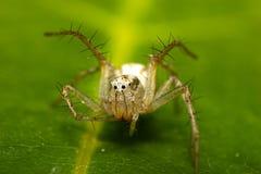 螃蟹蜘蛛 库存照片