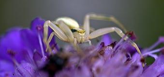 螃蟹蜘蛛 库存图片
