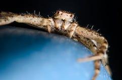 螃蟹蜘蛛 免版税库存照片