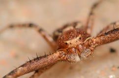螃蟹蜘蛛 免版税图库摄影