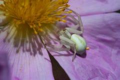 螃蟹蜘蛛 图库摄影