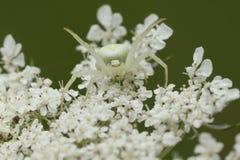 螃蟹蜘蛛& x28; Misumena vatia& x29; 免版税库存照片