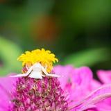 螃蟹蜘蛛& x28; Thomisus& x29; 库存照片