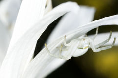 螃蟹蜘蛛Misumena vatia 免版税库存图片