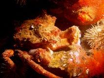 螃蟹蟾蜍 库存图片