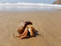 螃蟹重点隐士嘴荷兰 图库摄影
