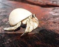 螃蟹重点隐士嘴荷兰 免版税库存图片