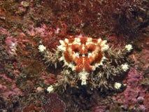 螃蟹重点papillosus phyllolithodes 免版税库存照片
