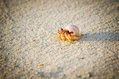 螃蟹隐士一点 库存照片