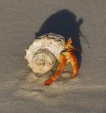 螃蟹隐士地产 免版税库存图片