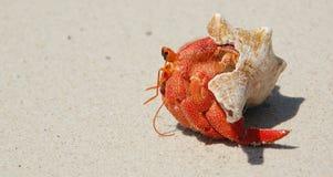 螃蟹隐士坦桑尼亚桑给巴尔 库存图片