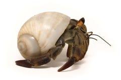 螃蟹隐士查出的白色 免版税库存图片
