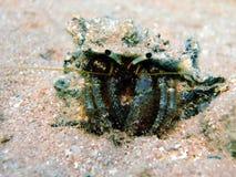 螃蟹隐士礁石 库存图片