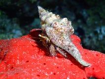 螃蟹隐士礁石 免版税库存图片