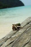 螃蟹隐士走 库存照片