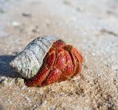 螃蟹隐士 图库摄影