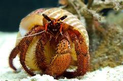 螃蟹隐士 免版税图库摄影