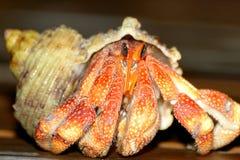 螃蟹隐士 库存照片