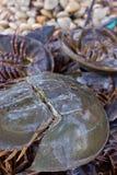 螃蟹马掌 免版税图库摄影