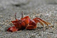 螃蟹鬼魂红色 免版税图库摄影