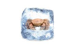 冻螃蟹,冰 图库摄影
