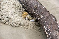 螃蟹-玛丽亚farinha 免版税库存照片