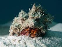 螃蟹dardanus隐士megistos察觉了白色 库存照片